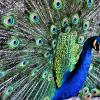Photobotos featured photo http://www.photobotos.com/peacock-show-off/